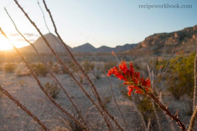 Ocotillo Bloom North of Terlingua, Texas