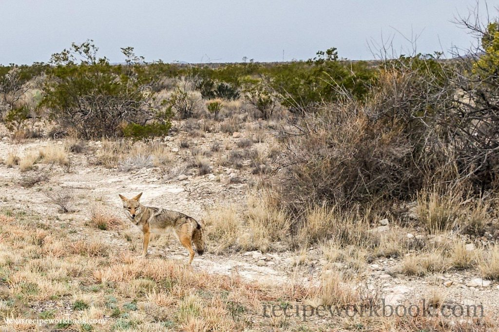 Coyote in Big Bend National Park